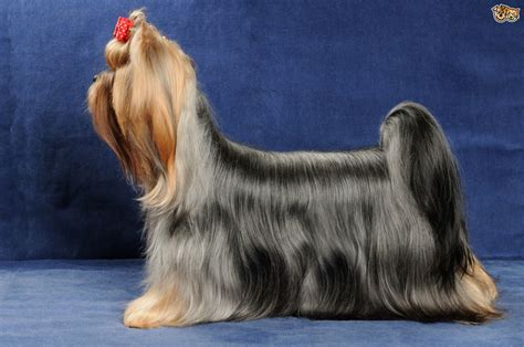 how to groom a yorkie puppy how do you groom a yorkie puppy hairstylegalleries