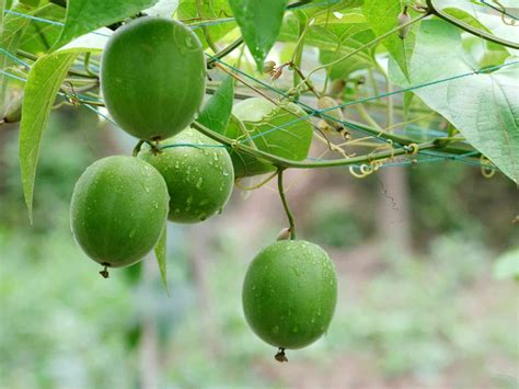 Luo Han Guo Lo Han Kuo Premium Quality Kemasan Kardus Isi 20 Pcs luo han guo extract mogrosides 80 mogroside v 25