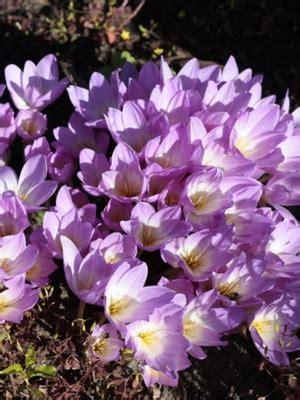 tuberose fiori fiori tuberose con i nomi e le foto