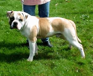 american bulldog colors all color american bulldog breeds index