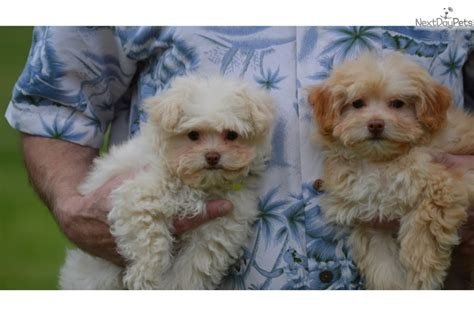 pomapoo puppies for sale near me poma poo pomapoo puppy for sale near san diego california 74dec558 16f1