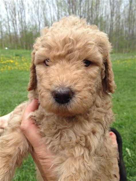 mini goldendoodle new york island goldendoodle breeders breeds picture
