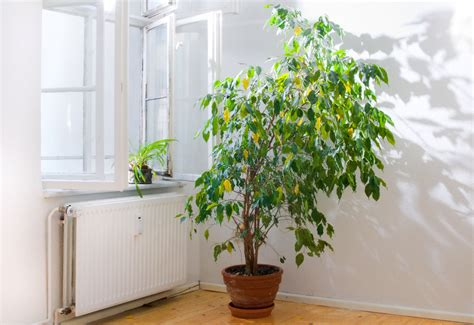 piante da arredo piante da arredo interno con idee per arredare il salotto