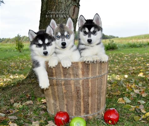 puppies for sale meadville pa 2017 mini siberian husky puppies for sale in pa mix puppies pictures images