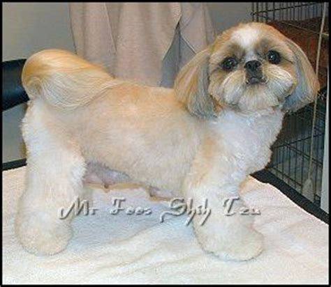 cutting shih poo ears 17 best images about shih tzus on pinterest cut