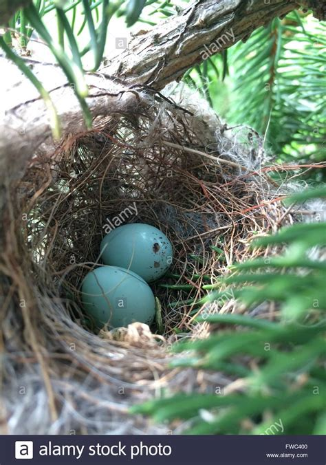 house finch eggs pictures two blue house finch eggs in a nest in an arborvitae tree