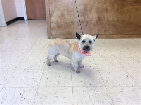 grooming picture for cairn terrier grooming photo library pet motel and salon