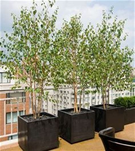 Bamboo In Planter Box by 1000 Images About Trees For Containers Landscape Ideas