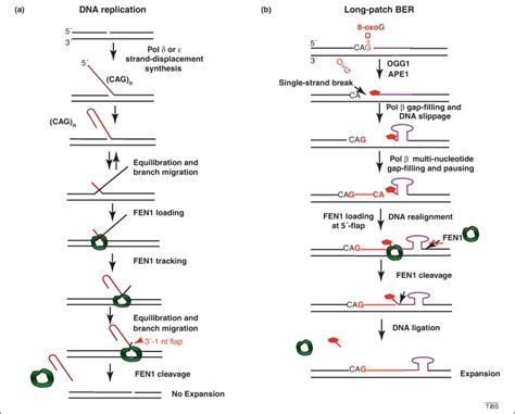 dna base excision repair a mechanism of trinucleotide