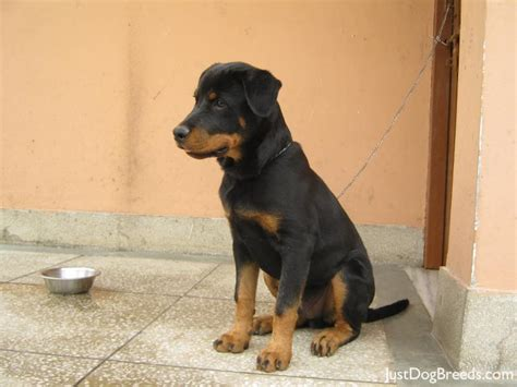 are rottweilers hypoallergenic hypoallergenic dogs photos breeds picture