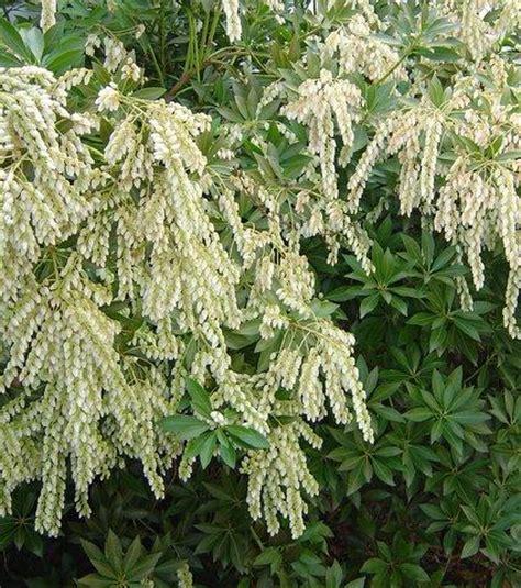 pieris japonica japanese pieris japanese andromeda plant page