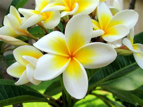 bunga kamboja bukan lagi penghias kuburan saja manfaat di dalam keindahan bunga