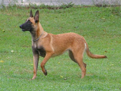 belgian malinois german shepherd mix belgian malinois german shepherd mix www imgkid the image kid has it