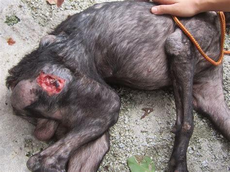ticks in dogs ear tick on dogs ear breeds picture