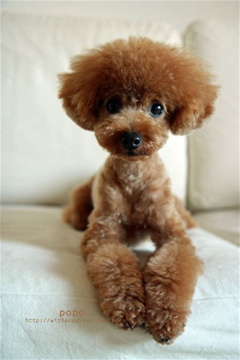 differenct cuts for poodles pin toy poodle cuts pictures on pinterest