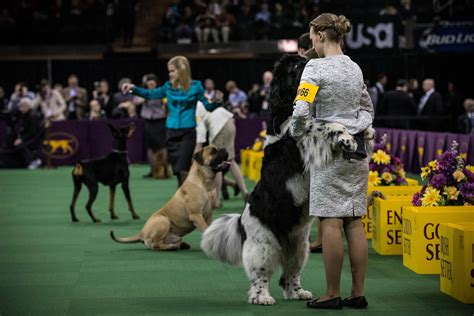 westminster show dogs take the stage at the 138th westminster kennel club show