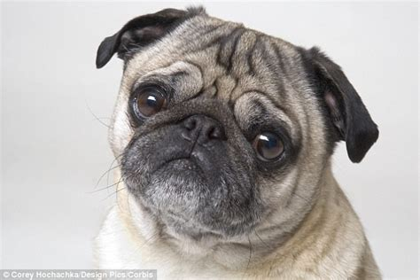 pug genetic problems think before getting bulldogs or pugs demand for flat faced canines could