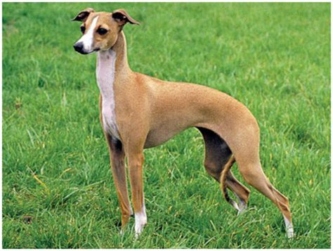 Whippet Shedding by Whippet Puppies Pictures Facts Rescue Temperament