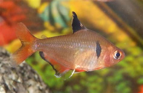reptiles amphibians fish pretty but nippy serpae tetra