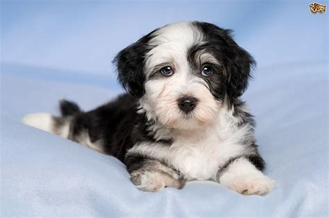 havanese care caring for a havanese pets4homes