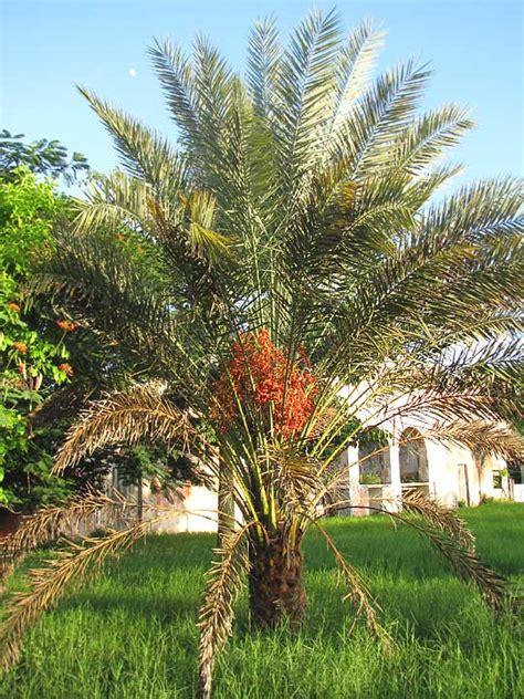 Desert Backyard Phoenix Sylvestris Images Useful Tropical Plants