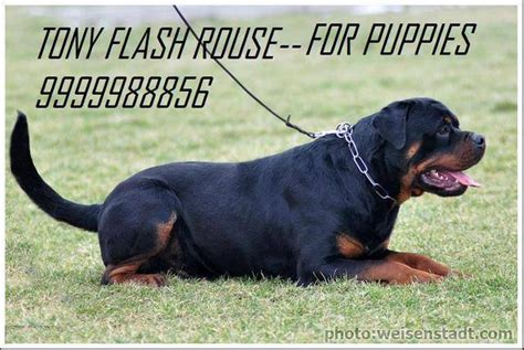 rottweiler puppies for free adoption in india rottweiler puppies world chion bloodline for sale adoption from new delhi delhi