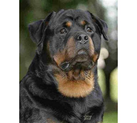 german rottweiler puppies az home page arizona rottweilers chion puppies