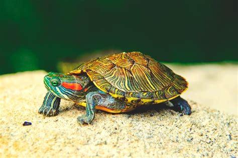 imagenes de libres y tortugas 191 qu 233 comen las tortugas