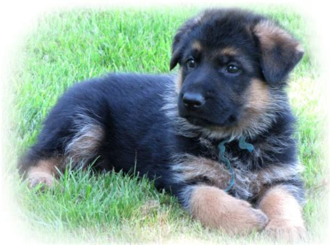 german sheperd puppies for sale image german shepherd puppies for sale washington jpg animal jam clans wiki