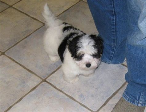 coton de tulear puppies for sale in pa dogs drexel hill pa free classified ads