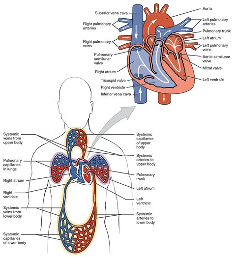 What Is Circulation Section by Anatomy 183 Anatomy And Physiology