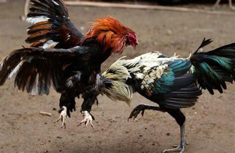 peleas de gallos mexicanos habr 225 palenque de gallos dentro de la feria expo comond 250 2017
