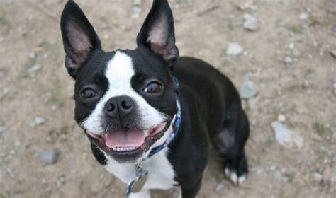 17 best ideas about boston terrier temperament on