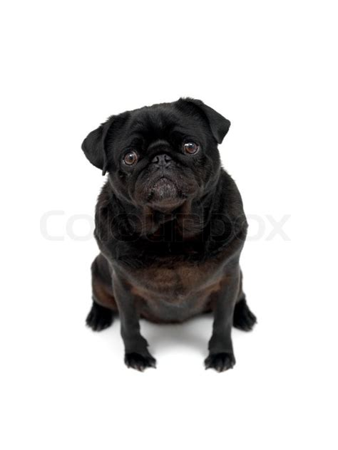 pug white background a black pug isolated against a white background stock photo colourbox