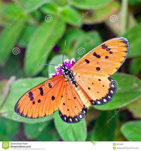 amaranto fiore una farfalla di acraea sul fiore dell amaranto viola