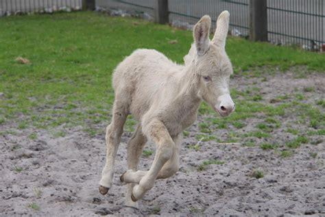 A white donkey foal runs around