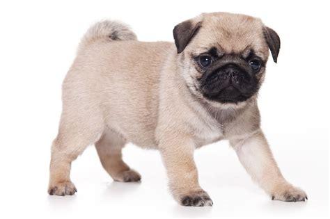 about a pug fotos de perros de la raza pug para fondo de pantalla imagenes de perros