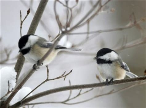black capped chickadee wood and field