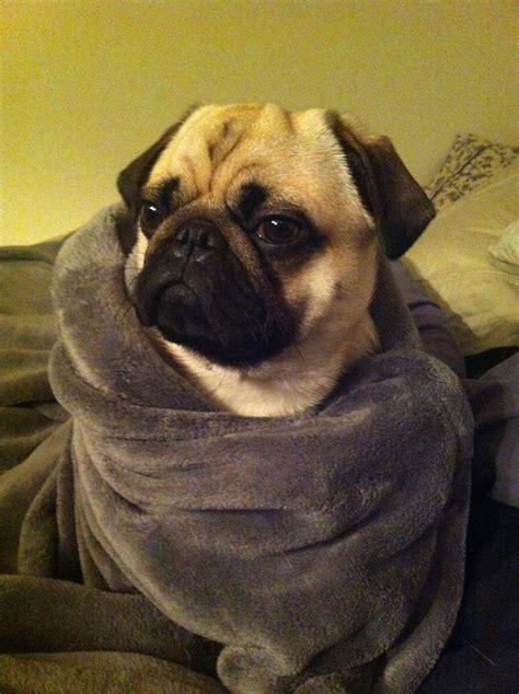 pug blankets pug in a blanket gus pugs not drugs