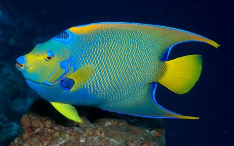 holocanthus bermudensis bermuda blue angelfish wallpaper