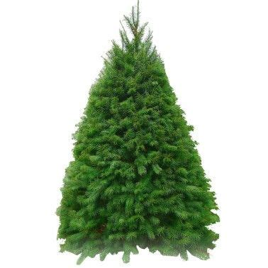 noble fir transplants 1000 images about noble fir tree on beautiful trees and trees