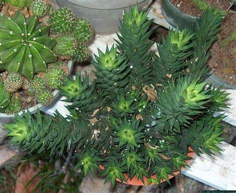 exotic house plants haworthia reinwardtii 111 of 184