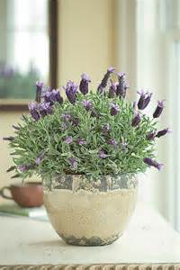 how to care for potted lavender flower pressflower press