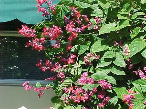Blooming Flower by Fireworks Flower Clerodendrum Quadriloculare
