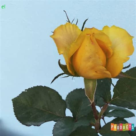 beli disini mawar bunga kuning mohana ukuran besar ibad
