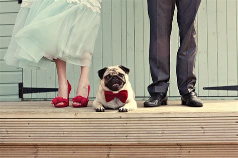 pug in a bow tie wedding fashions for cats and dogs