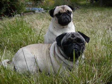 perros pug perros pugs hermosos cachorros y adultos pugs fotos e im 225 genes en fotoblog x