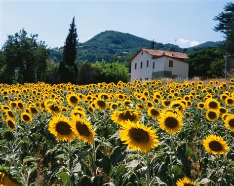 field of sunflowers tuscany italy mural dietrich leis
