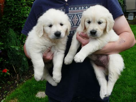 pale golden retriever kc registered pale golden retriever puppies woodhall spa lincolnshire