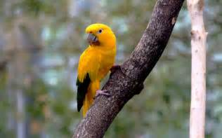 japan golden conure parrot free wallpapers